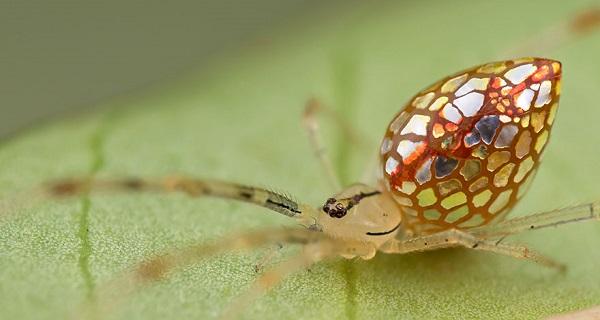 عناكب زجاجية