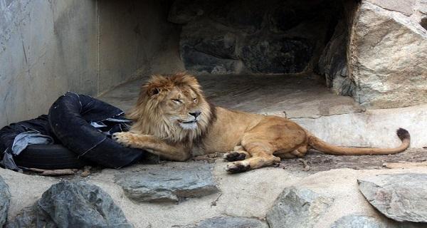 سراويل جينز ممزقه من تصميم الحيوانات