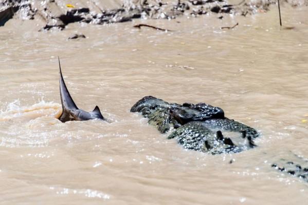 تمساح يلتهم سمكة قرش 3