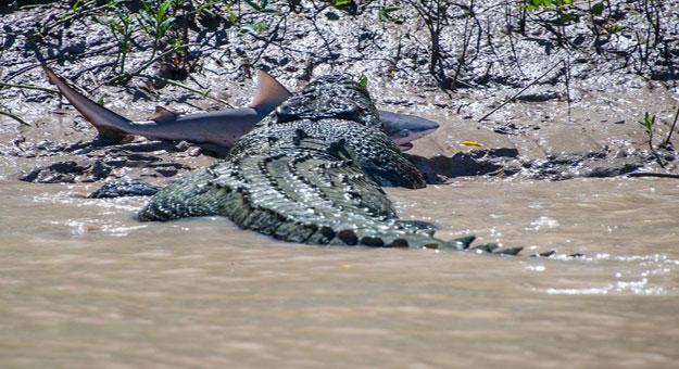 تمساح يلتهم سمكة قرش