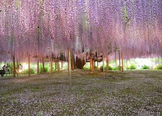 نفق الورود في اليابان  13