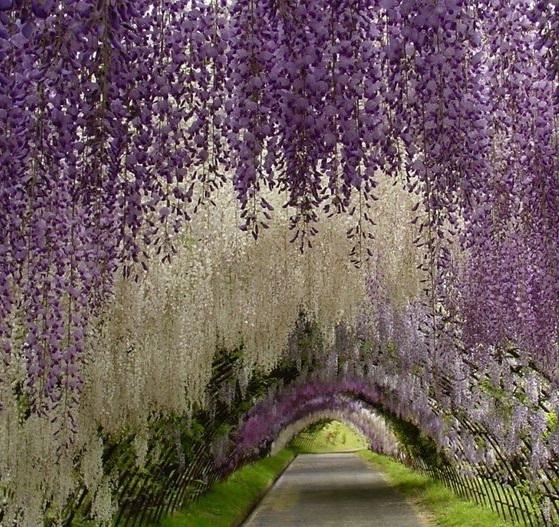 نفق الورود في اليابان  17