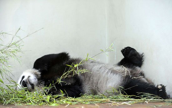 ولادة الباندا  6