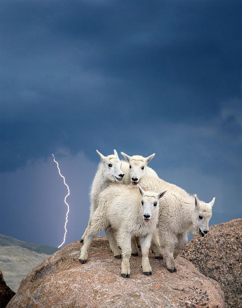 أطفال الماعز