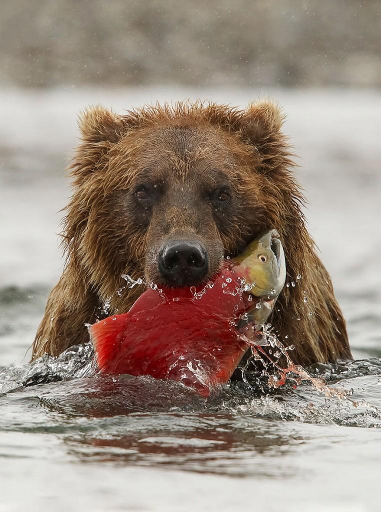الدب البنى