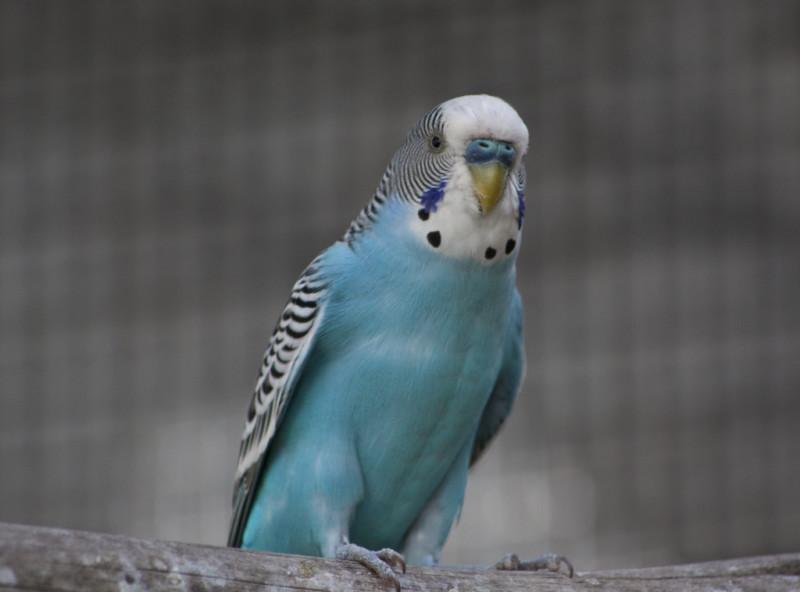 ببغاء الطائر الطيب الأزرق