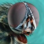 عيون الحشرات