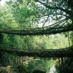 جسر الاشجار - الهند