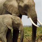 Elephant Pair_PKnights