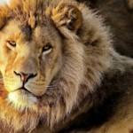 lions_nature_wild_animals_m81848