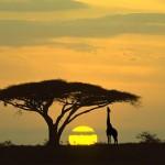 Serengeti National Park , Tanzania . Giraffe and acacia tree at sunrise