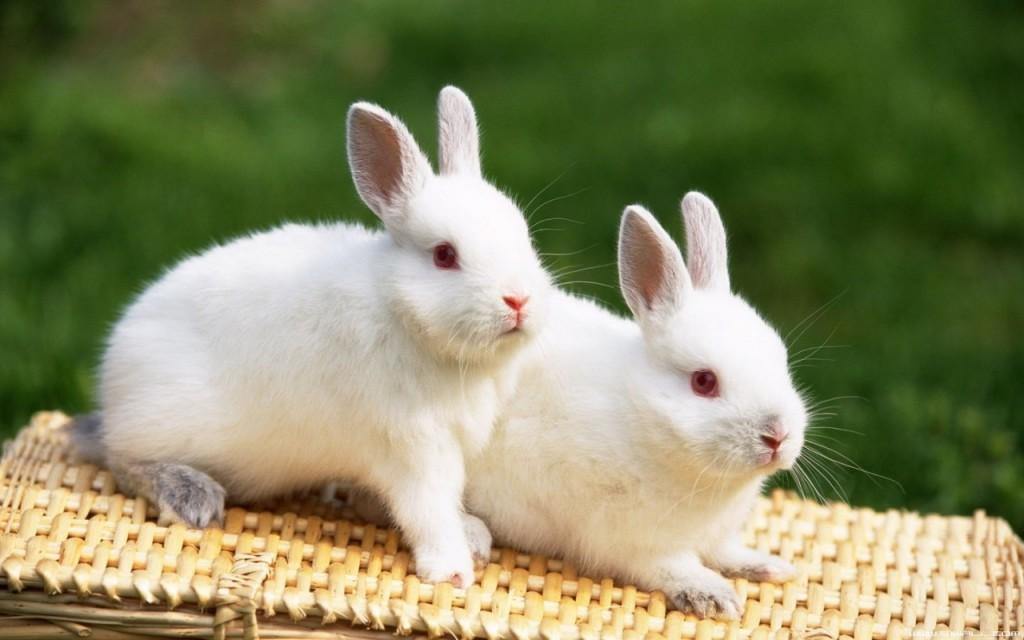 أرانب