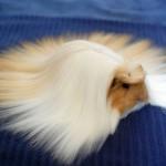 شعر الحيوانات