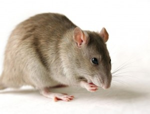 فأر المنازل