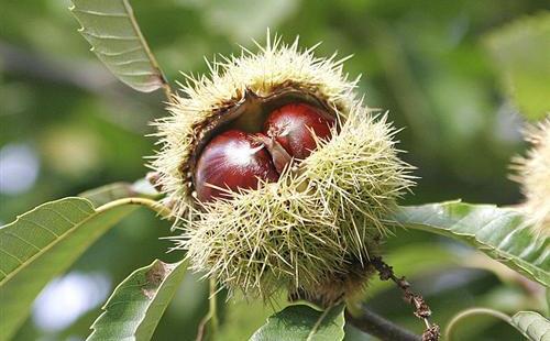 أبو فروة - نبات