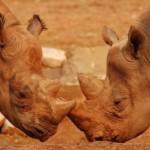 ياوان وحيد القرن