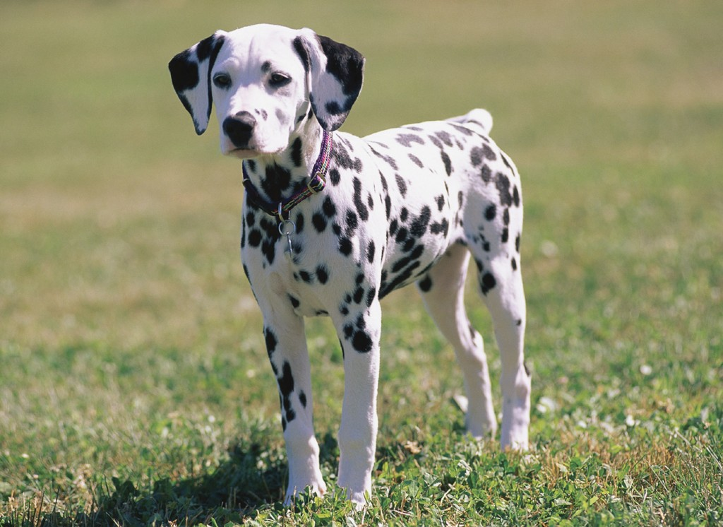 11. كلاب دلماسي