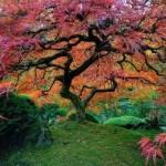 Beautiful_Japanese_Maple_In_Portland,_Oregon