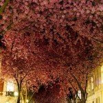 Blooming_Cherry_Trees_in_Bonn,_Germany