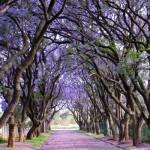 Jacarandas_in_Cullinan,_South_Africa