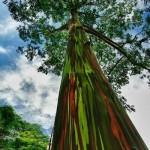 Rainbow_Eucalyptus_In_Kauai,_Hawaii