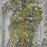 The_President,_Third-Largest_Giant_Sequoia_Tree_In_The_World,_California