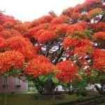 Tree,_Brazil