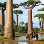 Trees_In_Madagascar