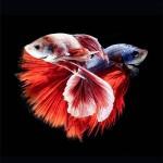 السمك السيامى