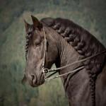 حصان بضفيرة