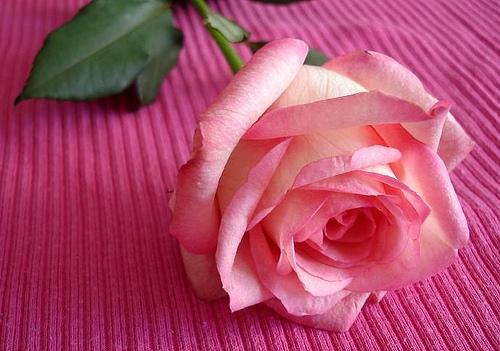 الوردة الروز جوري