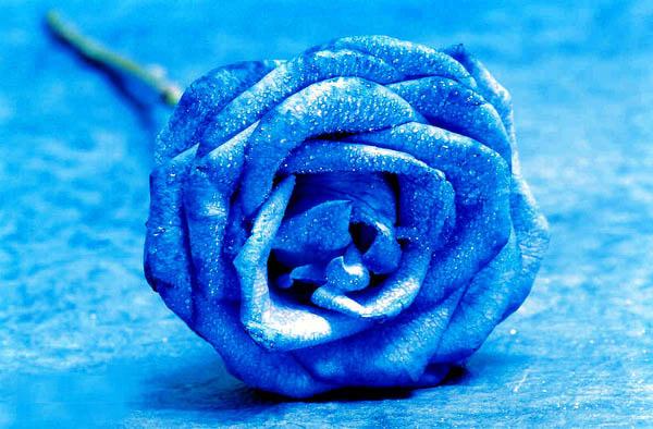 الورد الأزرق
