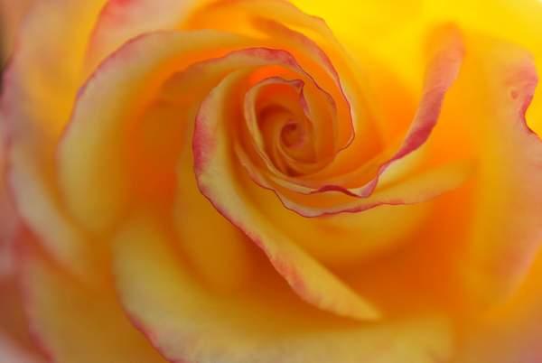 الورد الأصفر