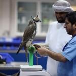 مستشفي للصقور في أبوظبي