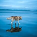 كلاب تمشى على الماء
