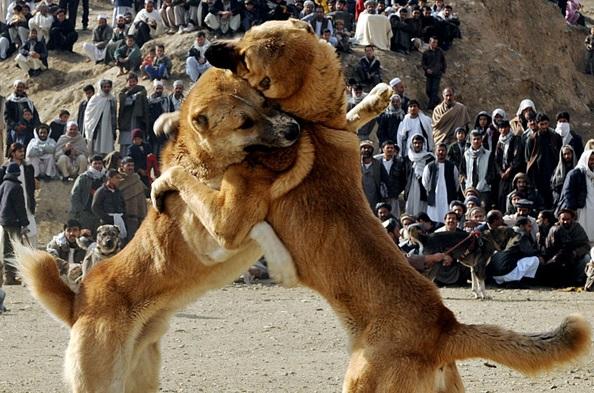 مصارعة الكلاب فى افغانستان