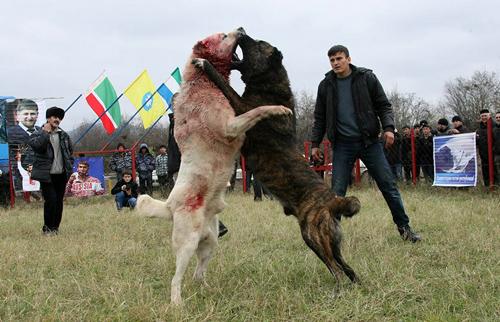 مصارعة الكلاب فى الشيشان