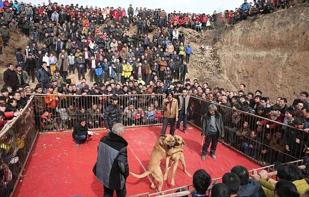 مصارعة كلاب فى الصين