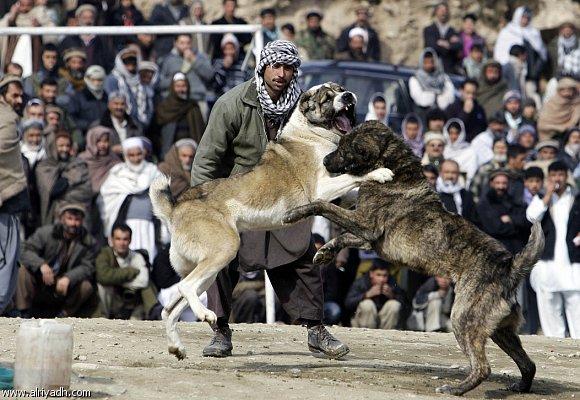 مصارعة الكلاب فى باكستان