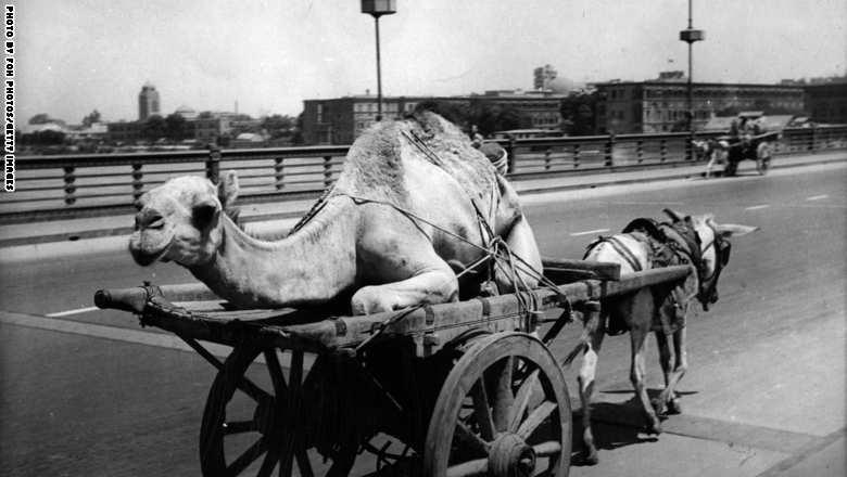 عربة يجرها حمار، ومحمل عليها جمل تسير في أحد شوارع القاهرة 19 نوفبمر 1944