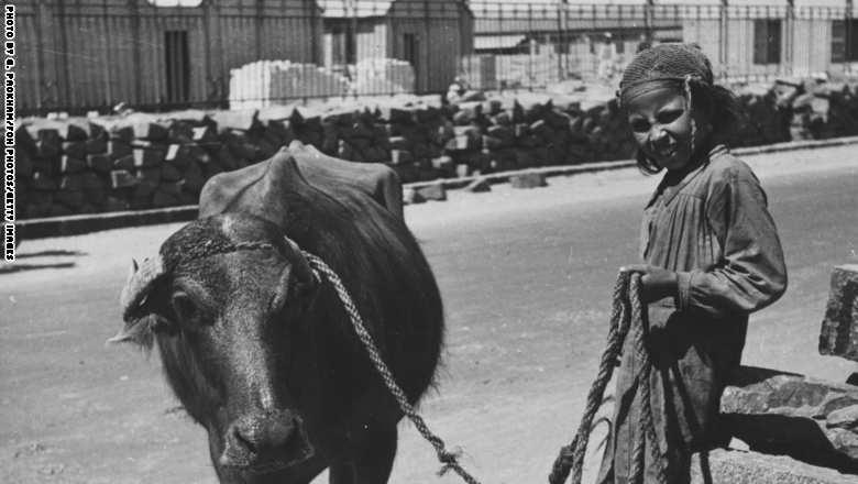 فتاة مصرية مع ثور الساقية، القاهرة 1944