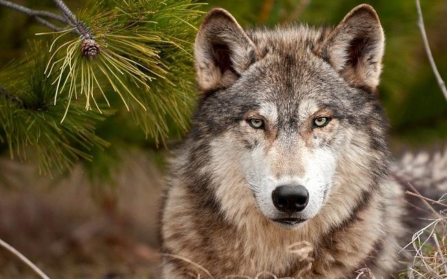 ذئب 4