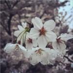 أزهار الكرز
