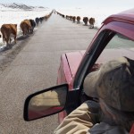 Moving cattle to spring pasture, Boulder, Wyoming, 2011