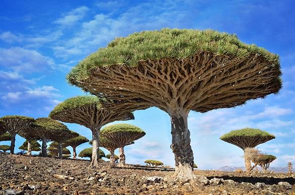 اشجار دماء التنين – سوقطرة – اليمن