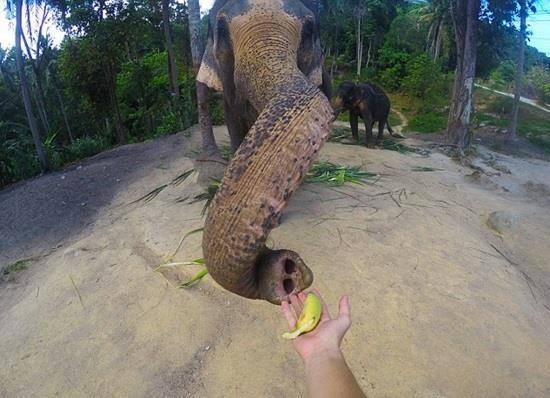 فيل يخطف كاميرا من سائح  2
