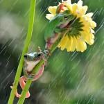 الضفادع تحت المطر