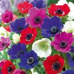 ألوان مختلفة لزهور شقائق النعمان