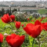شقائق النعمان فى القدس
