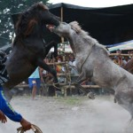 T'BOLI, PHILIPPINES - MARCH 10:  Two stallions fight during the Seslong festival on March 10, 2014 in T'boli town, Philippines. The sport of horse-fighting pits two stallions against each other during mating season by forcing them to fight until retreat or death over a mare in heat.  Despite laws enacted in 1998 banning the sport of horse fighting in the Philippines, many communities particularly on the island of Mindanao still celebrate the sport as a long time cultural tradition.  (Photo by Jeoffrey Maitem/Getty Images)